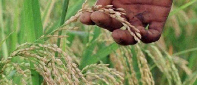 riz-africain.jpg